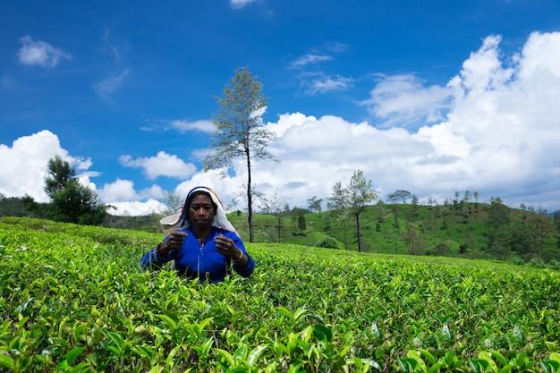 Selecionador de chá feminino na plantação de chá