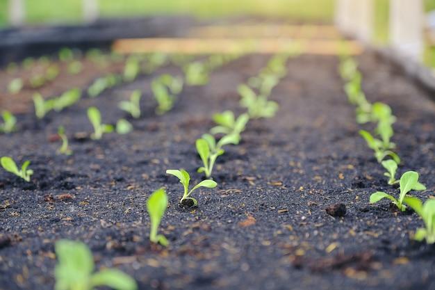 Seletiva de verde mudas, closeup de pequenas mudas no jardim em vegetais orgânicos