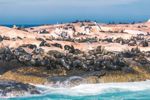 Selos em uma ilha de hout bay na cidade do cabo, áfrica do sul