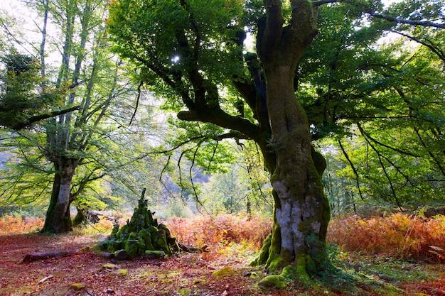 Selva de faia outono selva de irati em navarra pirinéus espanha