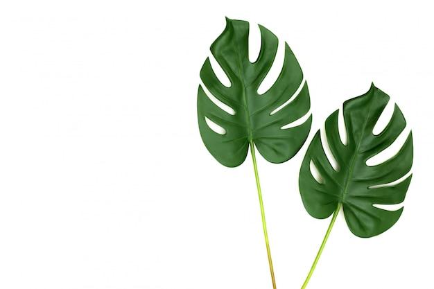 Selva tropical, monstera, folhas, isolado