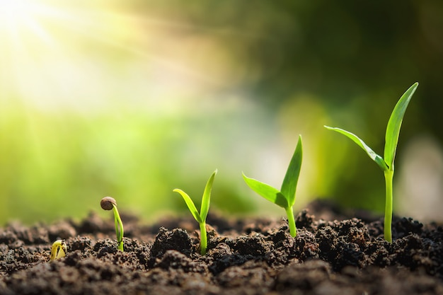 Semeadura de plantas crescendo passo. agricultura conceito