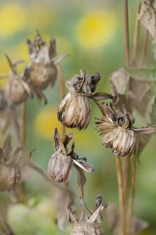 Semente da dália da flor seca