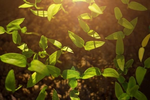 Semente da germinação a brotar da porca na agricultura e planta com luz solar e fundo verde. vista do topo. fundo para crescer