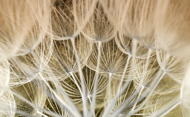 Semente de dente de leão. semente macro closeup. natureza primavera