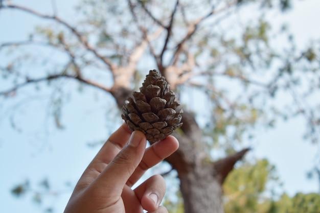 Semente de pinheiro na mão e árvore turva