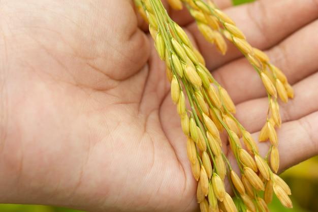 Semente do arroz à disposição na exploração agrícola da almofada na manhã. conceito de agricultura ou fazendas orgânicas.