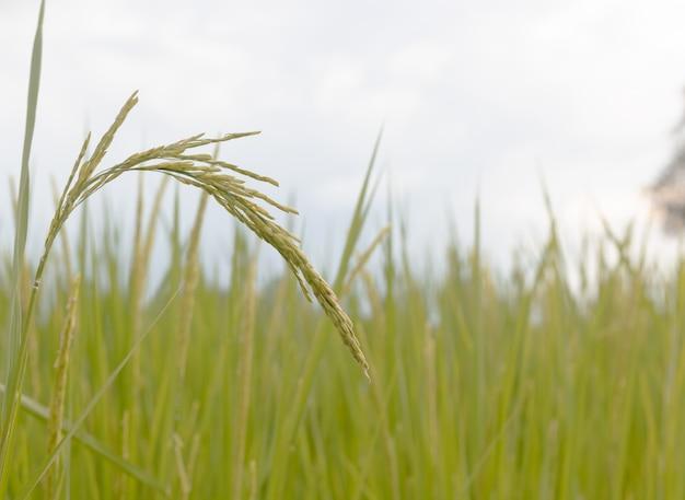 Semente do arroz madura e folhas verdes no campo do arroz. crescimento e rendimento de plantas de arroz no verão.