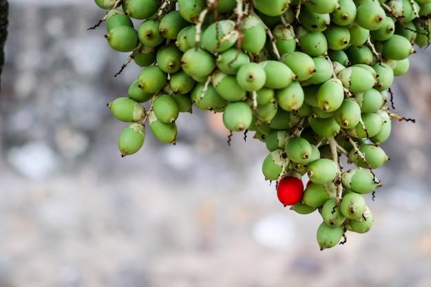 Semente vermelha e nova semente de palmeira verde na árvore