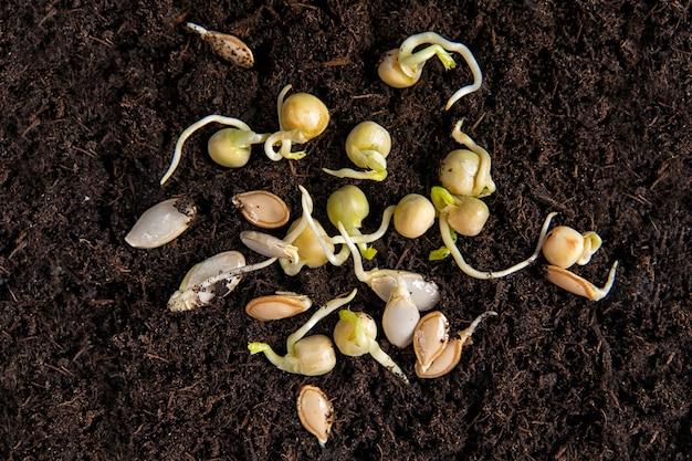 Sementes de abóbora brotadas e ervilhas verdes no fundo da terra. plantando sementes. jardinagem