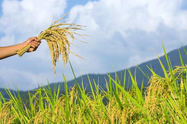 Sementes de arroz nas mãos dos agricultores