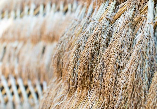 Sementes de arroz seco