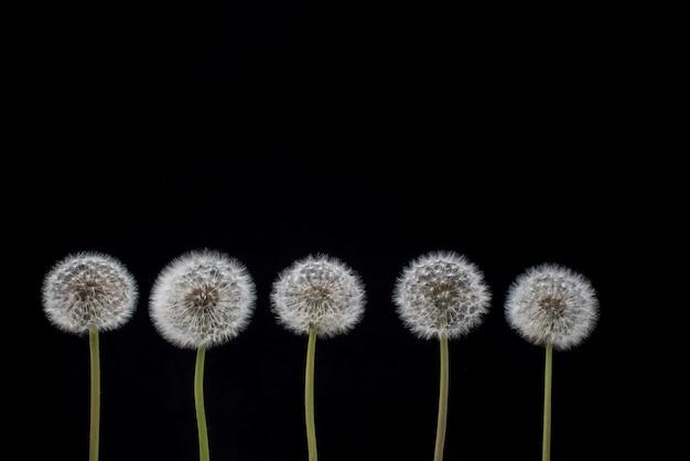 Sementes de dente de leão. cinco flores do dente-de-leão no fundo preto.