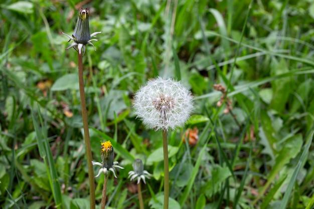 Sementes de dente de leão entre a grama no prado ao sol da manhã