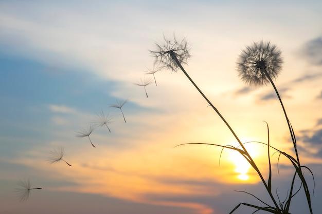 Sementes de dente de leão estão voando contra o fundo do céu do sol. botânica floral da natureza