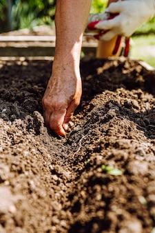 Sementes de feijão de planta de mão feminina no solo. mulher idosa irreconhecível jardinagem
