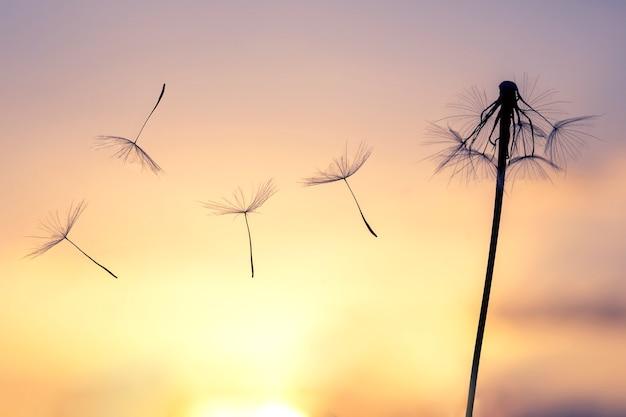 Sementes de flores dente de leão voam contra o pano de fundo do sol da tarde e do céu do pôr do sol. botânica floral da natureza