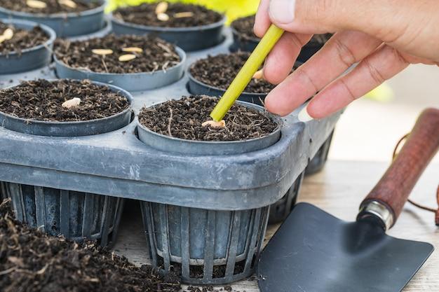 Sementes de melão na bandeja de germinação com solo fértil escuro.