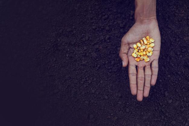 Sementes de milho na mão