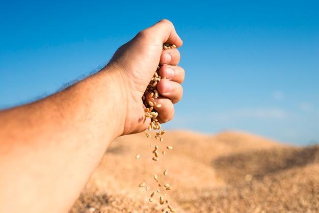 Sementes de trigo derramando da mão, representando bons rendimentos e colheita bem-sucedida