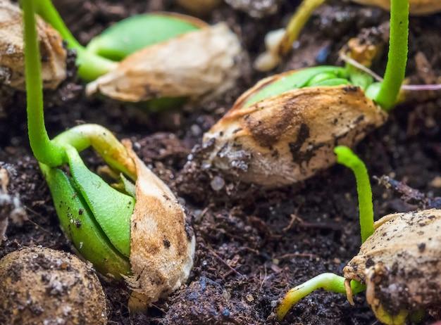 Sementes em germinação. rebentos jovens de plantas. fechar-se.