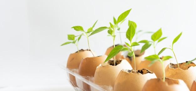 Sementes plantadas em cascas de ovos em branco