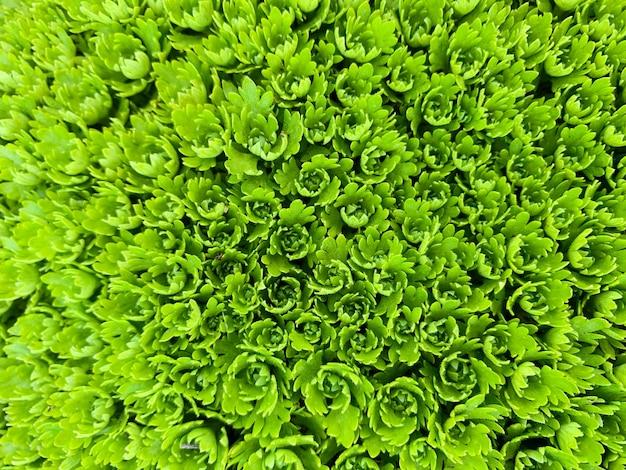 Sempervivum grean deixa o fundo da macro. foto abstrata de plantas suculentas
