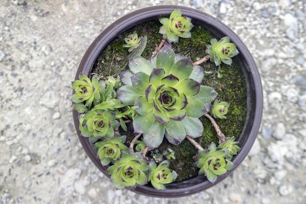 Sempervivum tectorum, uma excelente planta herbária saudável