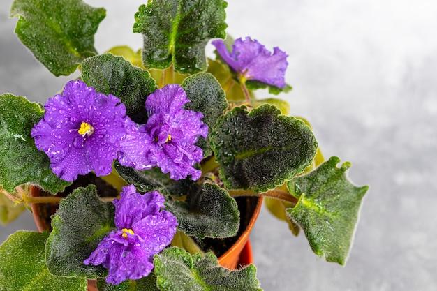 Senpolia floresce em uma panela. é comumente conhecido como violeta africana. planta em casa em um fundo cinza.
