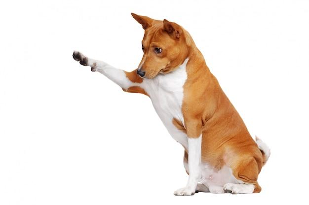 Sentado em um cachorro basenji branco, apontando para a área de cópia de espaço com a pata