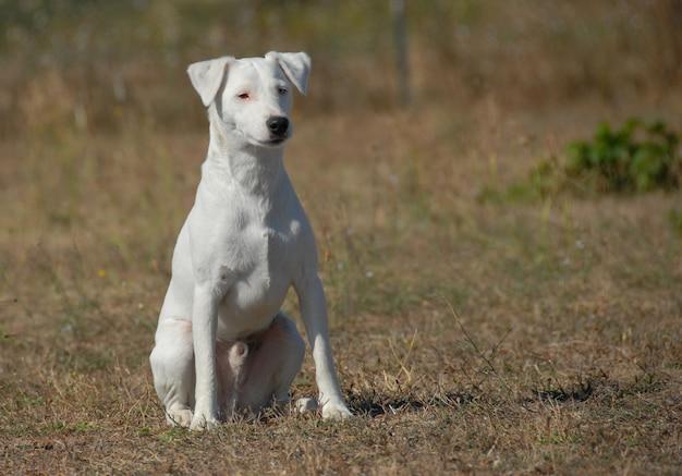 Sentado jack russel terrier