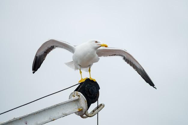 Sentando gaivotas no mar branco, na rússia.