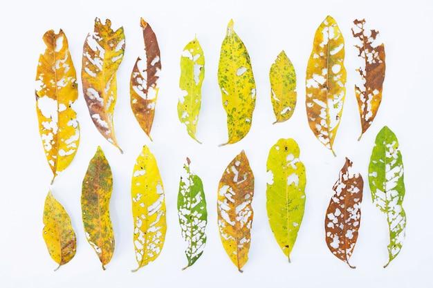 Seque as folhas com os furos, comidos por pragas no branco.