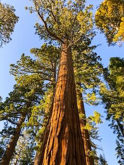 Sequoia árvores no parque