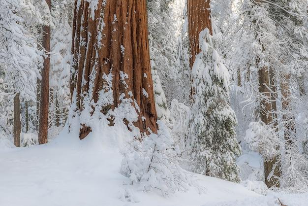 Sequoia gigante árvores na floresta inverno