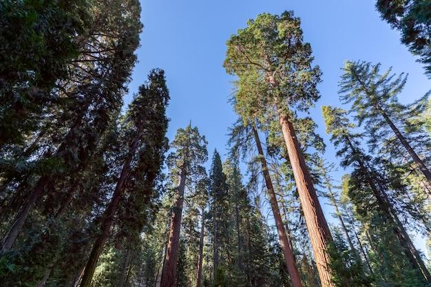 Sequóias gigantes na floresta