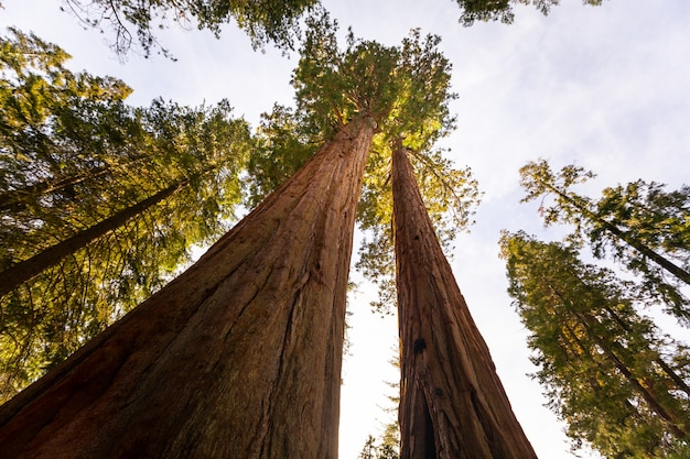Sequoias no parque nacional de sequóias, califórnia, estados unidos.