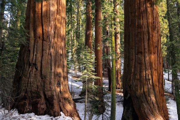 Sequóias no parque nacional sequoia, califórnia