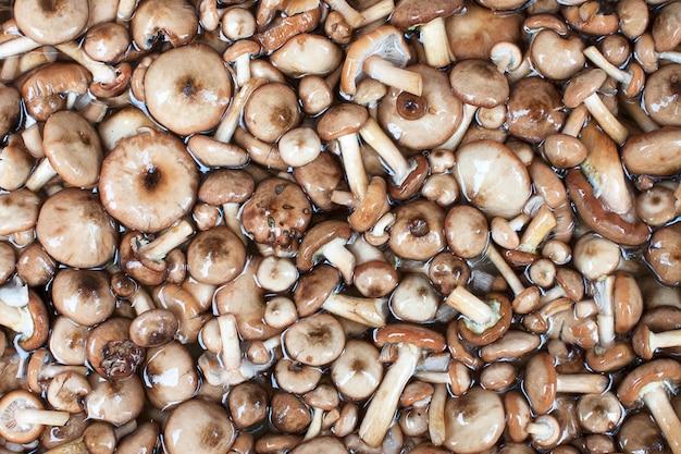 Série de cogumelos: fungo de mel
