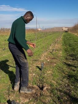 Série de um agricultor africano plantando árvores frutíferas em um dia ensolarado de inverno. conceito de agricultura.