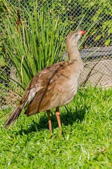 Seriema, ave típica dos cerrados brasileiros ao ar livre
