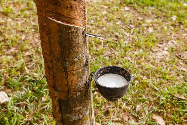 Seringueira e copo de látex na plantação de seringueira