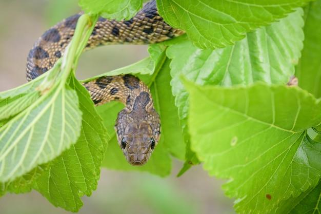 Serpente de chicote em ferradura, hippocrepis hemorróida