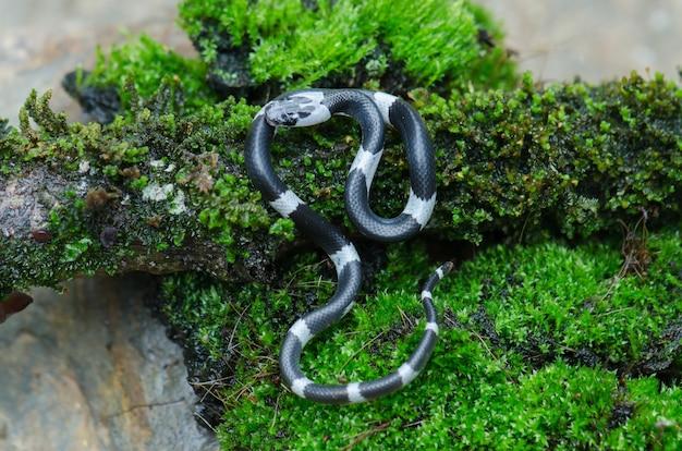 Serpente de lobo em faixas da malásia (lycodon subcinctus)