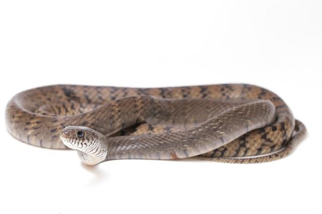 Serpente de rato indiana oriental da mucosa de ptyas isolada no branco.