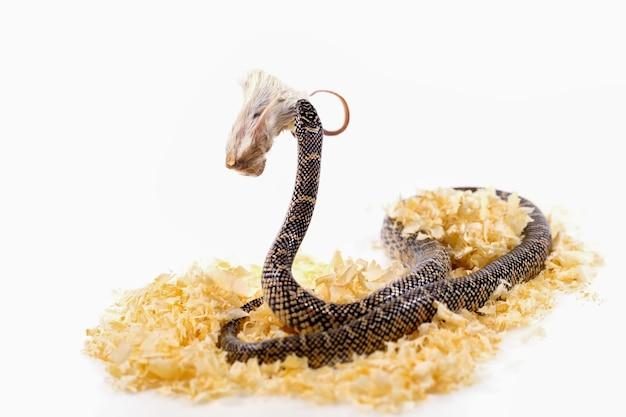 Serpente-real em um fundo branco.