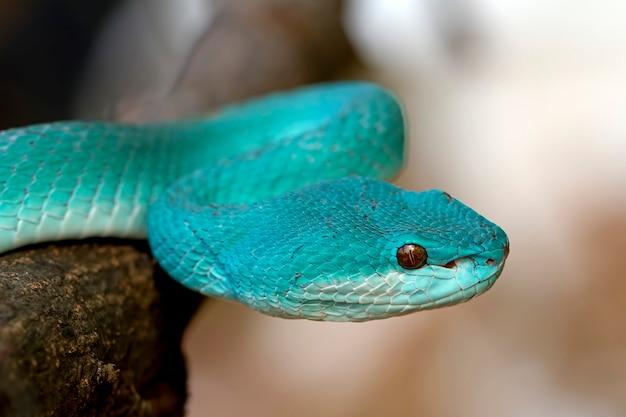 Serpentes azuis da víbora do insularis