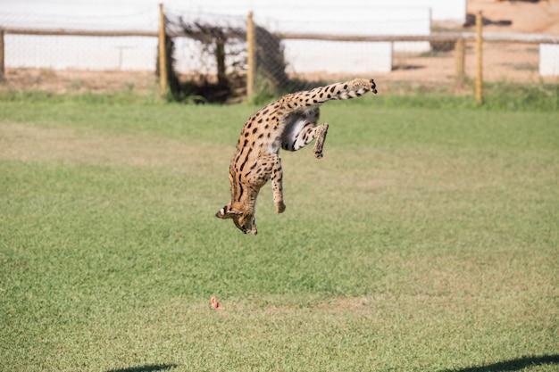Serval, animal felino pulando alto em uma área de grama caçando suas presas.