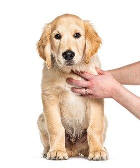 Sessão de treinamento com um golden retriever puppy, 3 meses de idade, isolado no branco