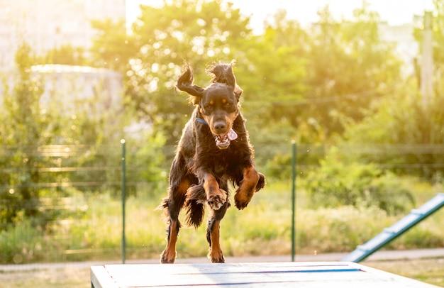 Setter escocês treinamento na pista de obstáculos